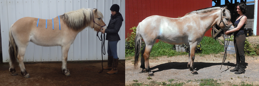 Svenna before and after six months with her treeless saddle, right view.