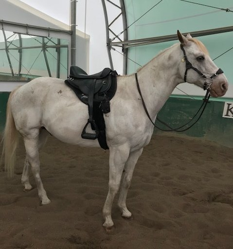 Horse wearing a Freeform Ultimate Trail Treeless Saddle